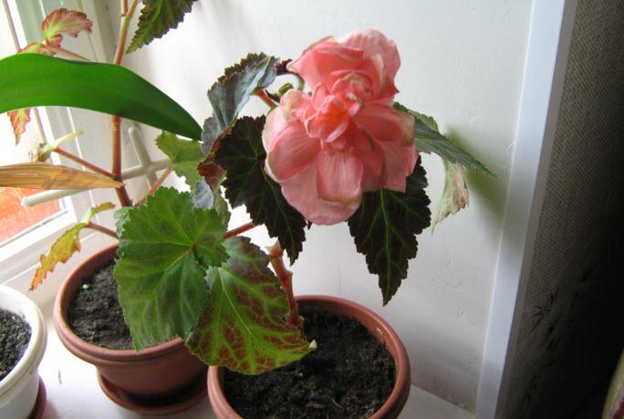 Бегония - уход в домашних условиях, цветение, размножение 70