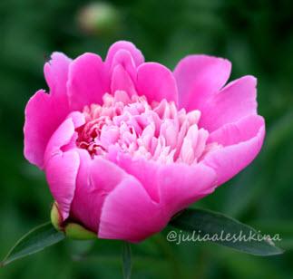 Цветок пион на даче