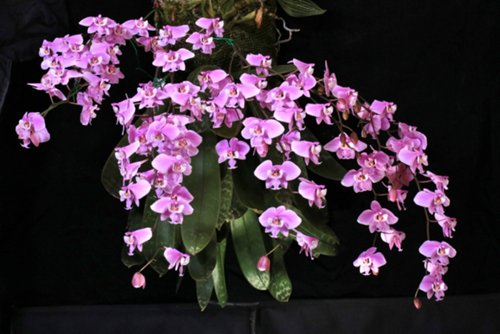 http://i.piccy.info/i9/449cb2bcd5dc91eeaf897ac530428564/1396016310/40139/710424/Phalaenopsis_schilleriana_500.jpg