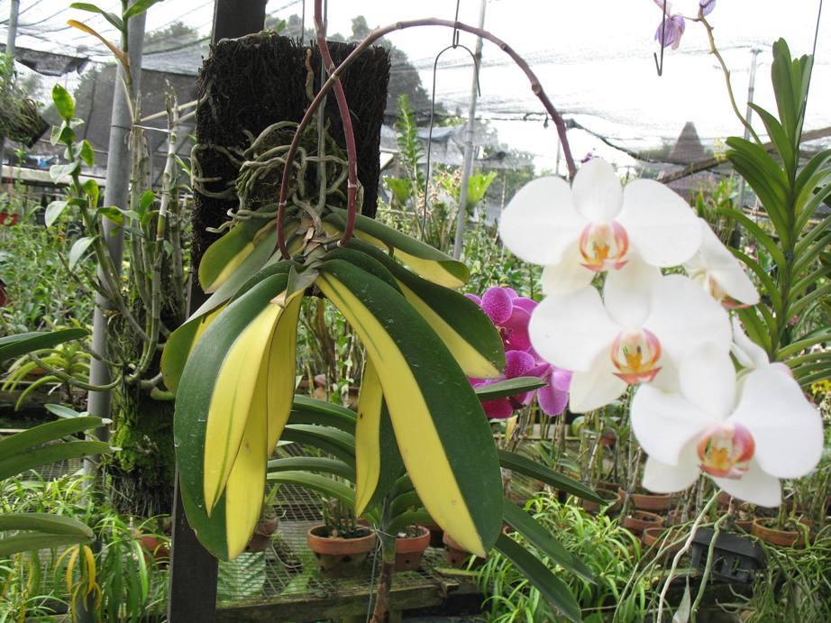 http://sokaagro.com/wp-content/uploads/2014/09/phalaenopsis-amabilis-anggrek-bulan.jpg