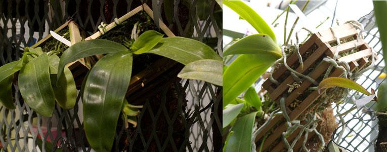 http://www.ranwild.org/Phalaenopsis/phalimage/IMGP2343.jpg