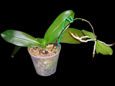 http://www.repotme.com/orchid-care/img/keiki-400.jpg