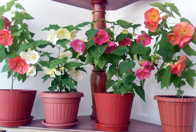 Подкормка и удобрения цветка
