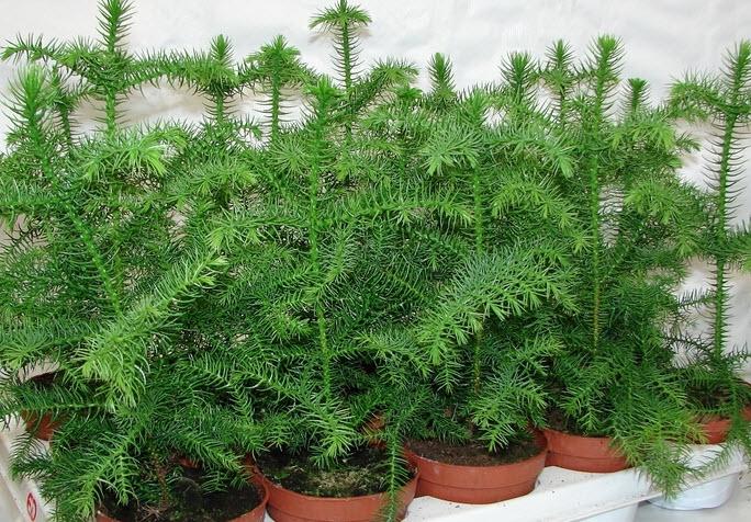 Проблемы, болезни, вредители растения