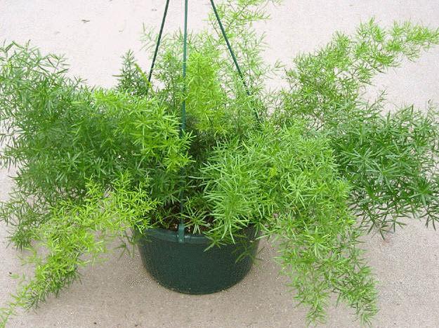 Особенности выращивания аспарагуса
