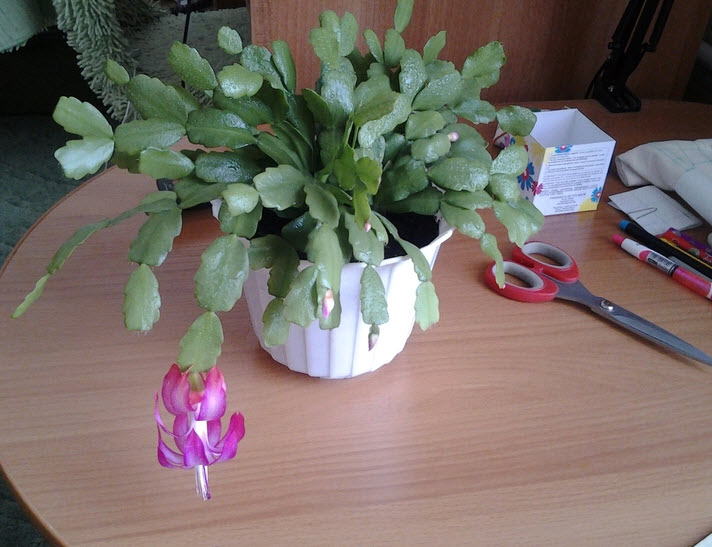 Особенности ухода за комнатным растением декабрист в домашних условиях