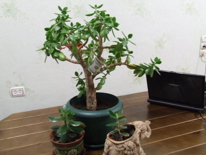 Посадка денежного дерева