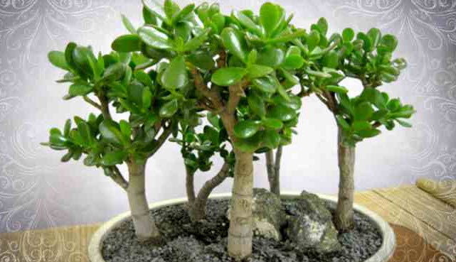 Какова продолжительность жизни денежного дерева?