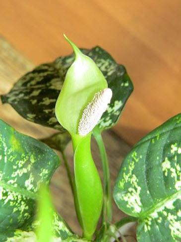 Когда цветет диффенбахия?