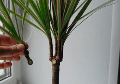 Обрезка комнатного растения драцена