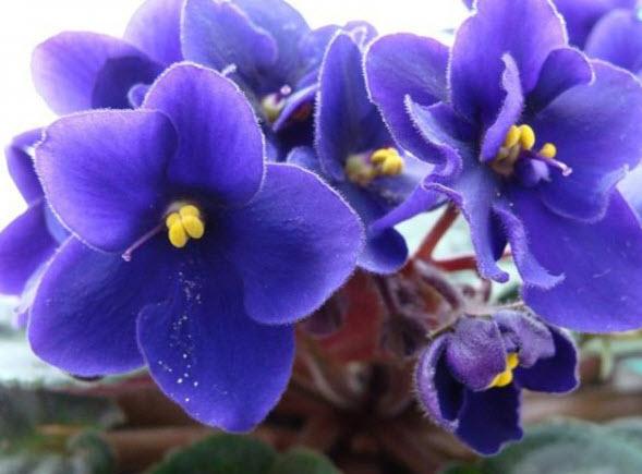 Особенности ухода за комнатным цветком фиалка в домашних условиях