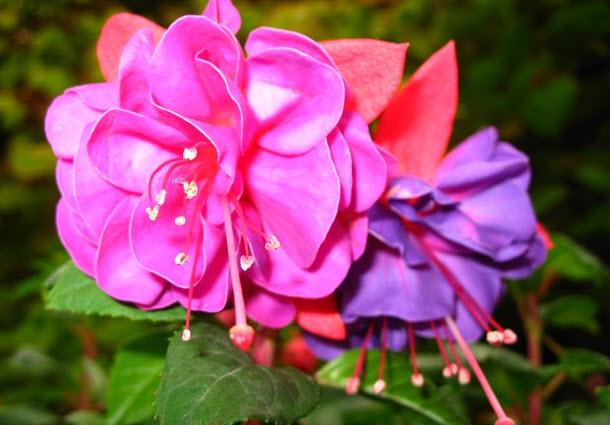 Особенности ухода за комнатным цветком фуксия в домашних условиях