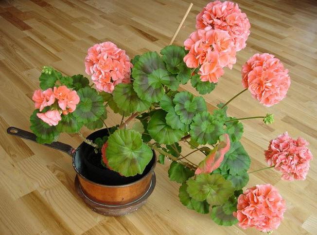 Особенности ухода за комнатным цветком герань в домашних условиях