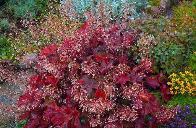 Посадка гейхеры в грунт осенью (весной)