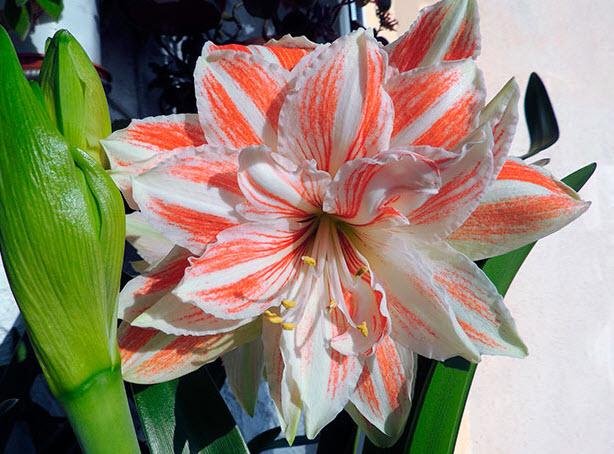 Когда и как цветет