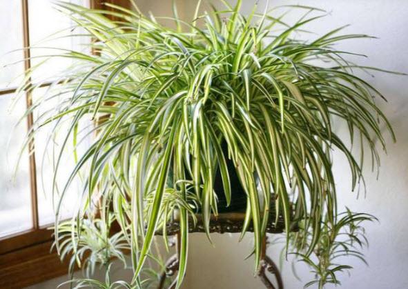 Особенности ухода за комнатным цветком хлорофитум в домашних условиях