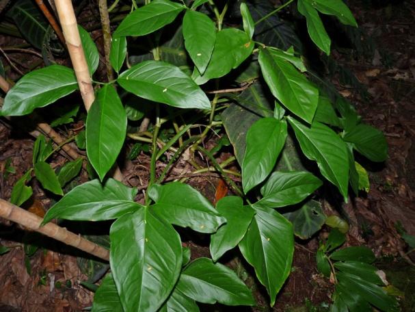 http://floraelverde.catec.upr.edu/fotos_vivas/synpod1.jpg