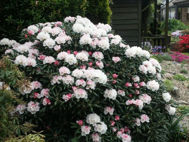 http://www.alpinegardensociety.net/image_files/onlineshow/sizedRhododendron%20yakushimanum9212.JPG
