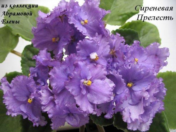 http://www.dimetris.ru/uploads/flowers/6812_sirenevaya-prelest.jpg