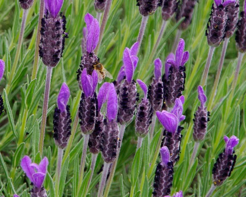 Цветы лаванда посадка и уход