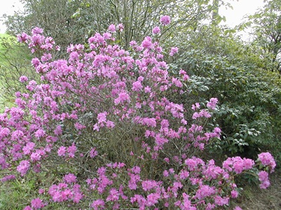 http://www.hirsutum.info/rhododendron/species/pictures/normal/273_8.jpg