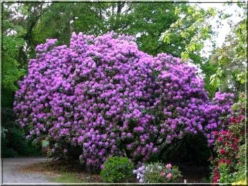 http://www.iglaki24.pl/galerie/r/rhododendron-catawbiense_156936.jpg