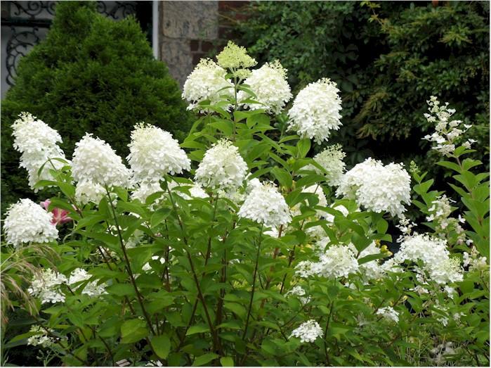 http://www.pflanzmich.de/prodpix/18400/rispenhortensie-grandiflora_hydrangea-paniculata-grandiflora1.jpg