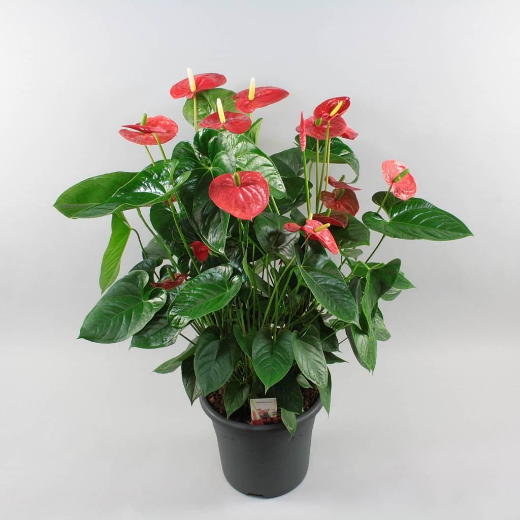 Цветок антуриум. уход в домашних условиях. фото