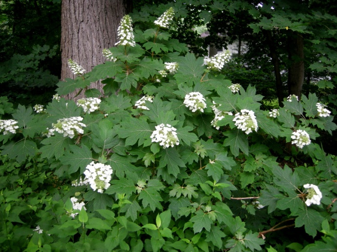 https://carolynsshadegardensdotcom.files.wordpress.com/2012/09/hydrangea-quercifolia-5.jpg