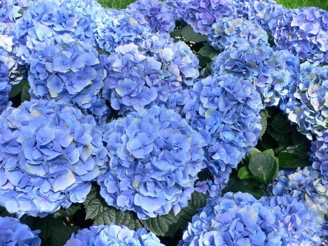 https://upload.wikimedia.org/wikipedia/commons/7/7f/Hydrangea_macrophylla_-_Hortensia_hydrangea.jpg