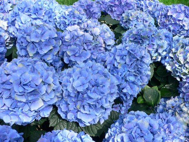 https://upload.wikimedia.org/wikipedia/commons/7/7f/Hydrangea_macrophylla_-_Hortensia_hydrangea.jpg