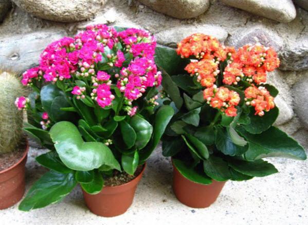 Выращивание и уход за каланхоэм в домашних условиях