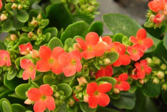 Особенности ухода за цветком каланхоэ в домашних условиях