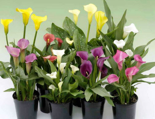Какова продолжительность жизни цветка?