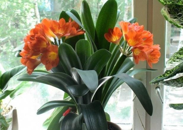 Цветущая кливия фото и уход в домашних условиях