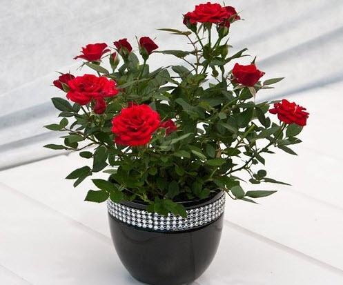 Роза комнатная уход в домашних условиях