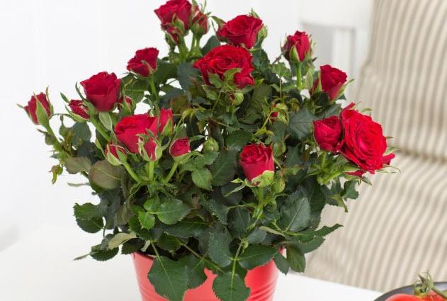 Как обрезать комнатную розу?