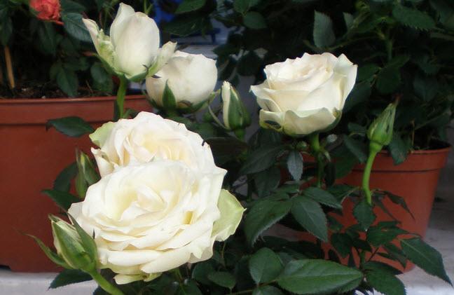 Цветение комнатной розы