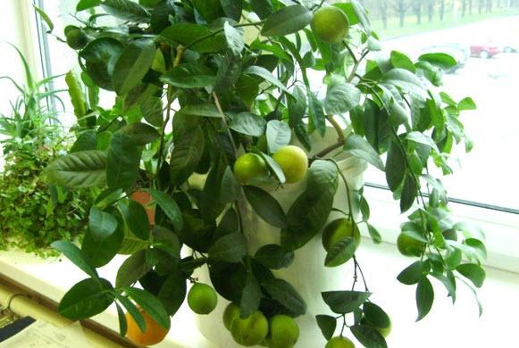 Особенности ухода за лимоном