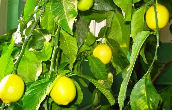 Размножение лимона