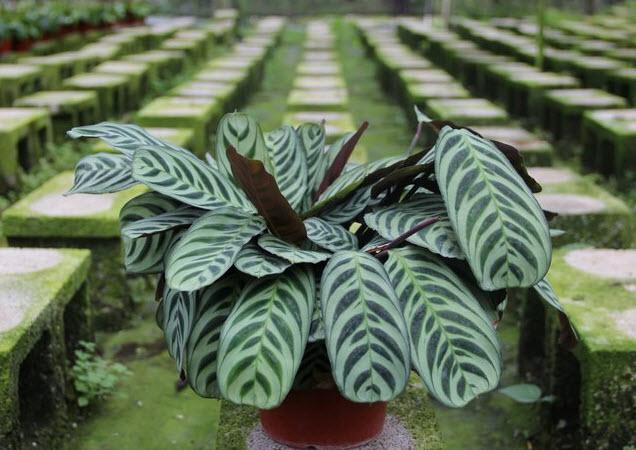 Выращивание и уход в домашних условиях за марантой