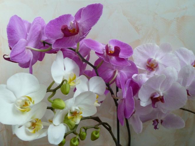 Выращивание и уход за орхидеей в домашних условиях