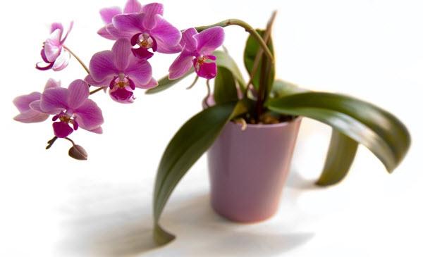 Посадка орхидеи дома