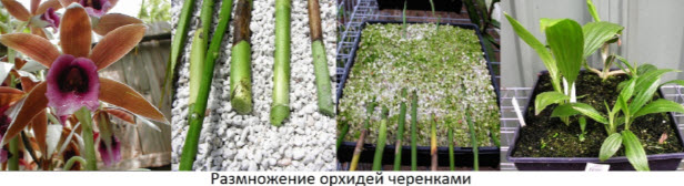 Можно ли вырастить орхидею из листа в домашних условиях