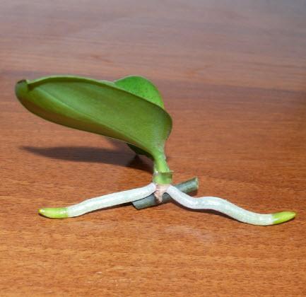 Как вырастить орхидею из листа