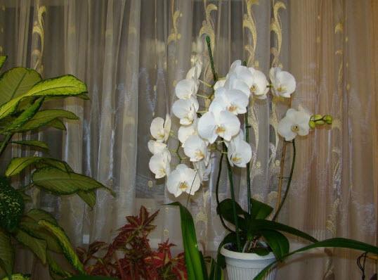 Как ухаживать в первый период за орхидеей после размножения?