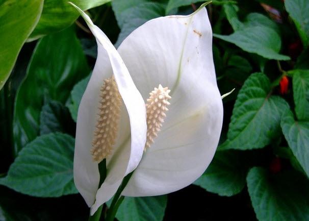 Особенности выращивания спатифиллума