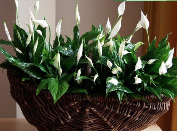 Особенности ухода за домашним цветком спатифиллумом
