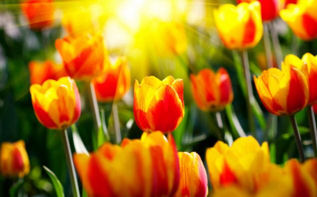 Как посадить и ухаживать за тюльпанами
