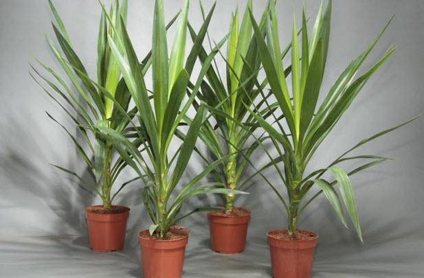 Особенности выращивания юкки